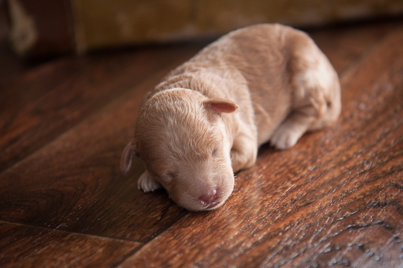 puppy 7 (girl)