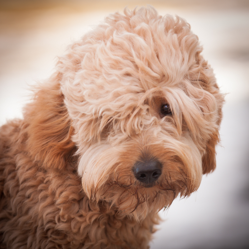 Acorn Acres Miniature Goldendoodles